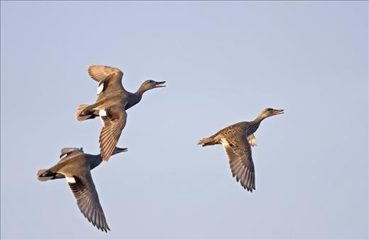 Gadwall Hunting Tips