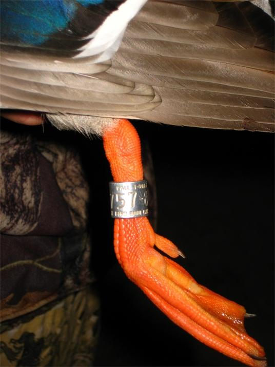 Banded Ducks Report Reporting Leg Bands