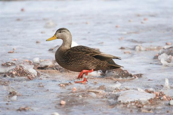 To a waterfowl and essay