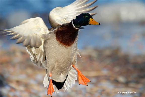 mallard landing duck hunting driverlayer search engine