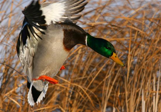 gallery for drake waterfowl wallpaper for iphone