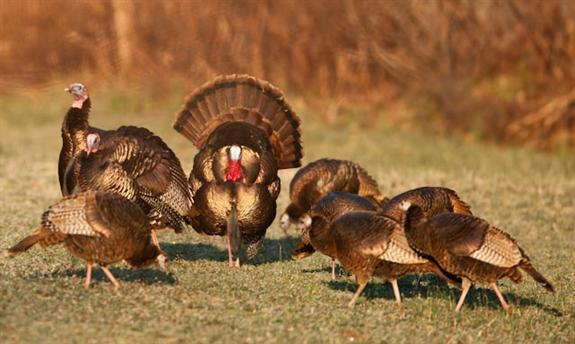 wild turkey essay One of the wildlife conservation success stories in the concho valley is the return  of the wild turkey it has been a dramatic recovery turkeys.