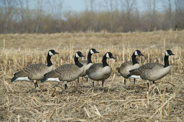 X Goose Decoys Submitted by Quanesha