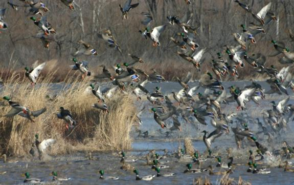 gallery for ducks unlimited hunting wallpaper