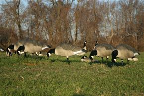 small canada goose decoy spread