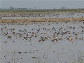 pintails in flooded fallow rice fields - by Ducks Unlimited